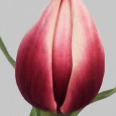 Tulipan burgunder 40cm