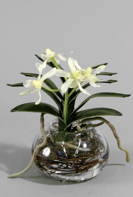 Wanda orchid in water 15cm