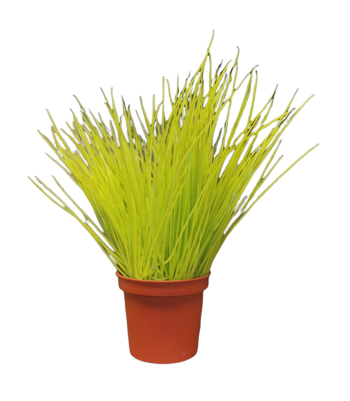 Gras, 6x19cm