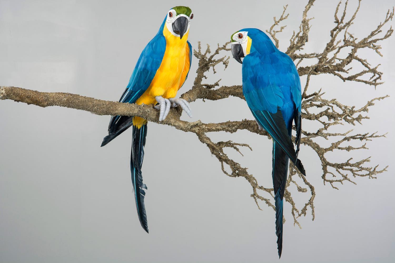 Papegøye blå sittende - 43x11,5cm